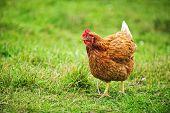 Free range happy Rhode Island Red chicken walking on grass