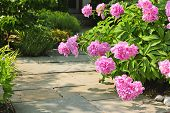Summer garden with paved path and blooming pink peony flowers