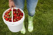picture of bucket  - Woman holding bucket of freshly picked strawberries on green grass outside in garden - JPG