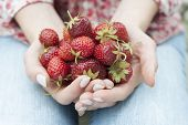 Closeup of female hands holding freshly picked strawberries