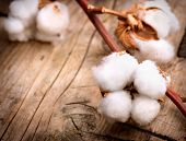 picture of raw materials  - Cotton - JPG