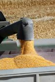 foto of hopper  - Fresh yellow grain corn flowing from combine harvester into waiting hopper - JPG