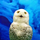 stock photo of snowy owl  - Closeup Snowy Owl  - JPG