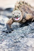 Close up of male marine iguana endemic of Galapagos islands, Ecuador