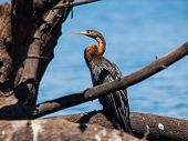 Snake Neck Bird (darter Or Anhinga)