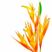 image of heliconia  - Orange Heliconia flower - JPG