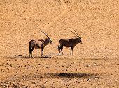 Two Oryx Antelopes