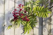 foto of mountain-ash  - Mountain Ash tree with red berries taken on a sunny afternoon - JPG