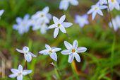 Wildflower - Blue-Eyed Grass - Sisyrinchium montanum in Japan