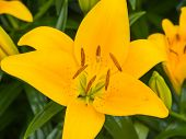 Close-up of a yellow lily