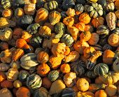 Autumn pumpkin holiday - Halloween. Gorgeous mature colorful pumpkins picturesque piles spread out o