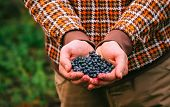 Blueberry Fresh Picked Organic Berries Food In Man Hands Healthy Lifestyle Northern Forest Recreatio