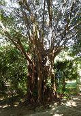 Banyan tree in a tropical resort garden