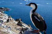 Antarctic Blue-eyed Cormorant Sitting On A Rock On A Background Of The Colony