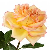 The Yellow Rose On White Background