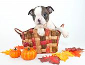 Fall Boston Puppy