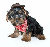 Cowboy Yorkie Puppy