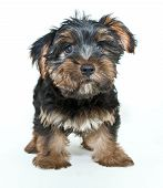 stock photo of yorkie  - Cute little Yorkie puppy looking up on a white background - JPG