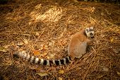 Lemur on the ground
