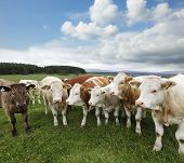 A group of cattle grazing on rich pasture in Scotland