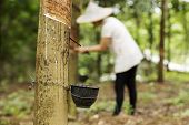 image of latex woman  - tapping latex from the rubber tree Woman worker background - JPG