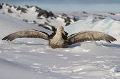 Southern Giant Petrel Which Sits In The Snow Having Opened Wings