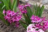 hiacinth