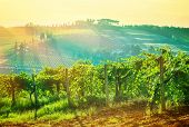 Beautiful landscape, grape valley in mild sunset light, growing vineyard, bright sun rays on the fie