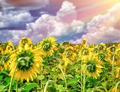 Beautiful sunflowers field in sunset light, gorgeous big yellow flowers, harvest season, beauty of a
