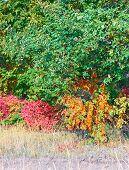 Red bush and orange rowan tree among green trees. Vertical.