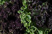 Organic Raw Kale