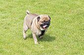 Tired  Pug Dog Walking On Lawn