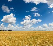 Summer field with ripe golden barley  and blue cloudy sky