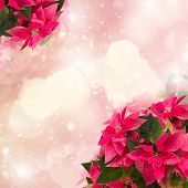 frame of pink poinsettia flower or christmas star