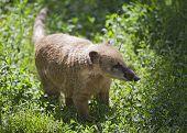 Nasua In A Zoo