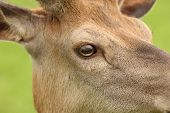 Red Deer close up