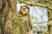 Barbary Macaque Sitting In A Tree At Monkey World Zoo
