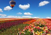 The huge balloon flying over colorful floral field. Flowers and seeds are grown for export in Israel