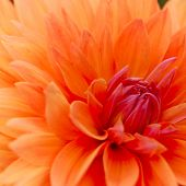 Close-up Image of Beautiful Orange Chrysanthemum. Flower Background
