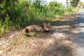 Fox lying on the roadside