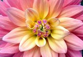 Ombre flower close up