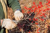 stock photo of winterberry  - Ilex verticillata - JPG