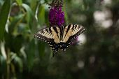 stock photo of butterfly-bush  - A Yellow Swallowtail butterfly feeding from a purple butterfly bush.