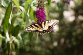 A Swallowtail Butterfly on Bush