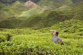 Young Women Posing In Green Fresh Tea Buches At Tea Plantations