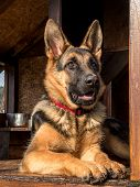 image of shepherds  - German shepherd resting in its wooden kennel - JPG