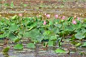 Pond With Lotus Pink Flowers - Beauty Of Nature
