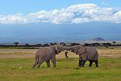 Kilimanjaro Elephants
