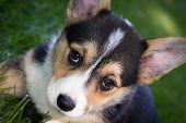 Corgi Puppy Close-up