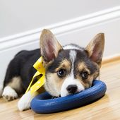 Tired Corgi Puppy Resting on toy